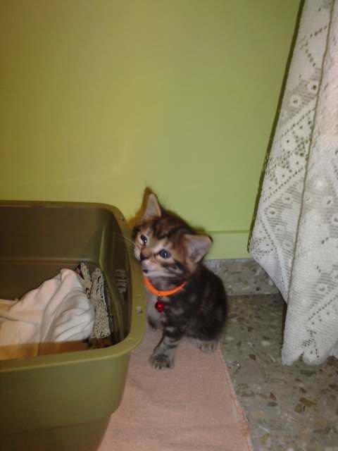 Leonides - pequeño gato mordedor