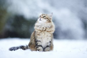 gato nieve