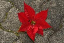 flor pascua
